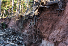 Tree Roots Exposed Through Coastal Erosion