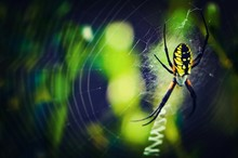 Close-up Of Garden Spider On Web