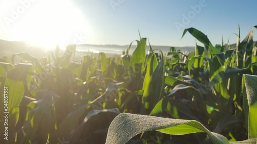 Close-up Of Corn Crops Growing At Farm Slika na platnu