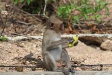 The Little Monkey Eating A Banana At Bangsaen Khao Sam Muk