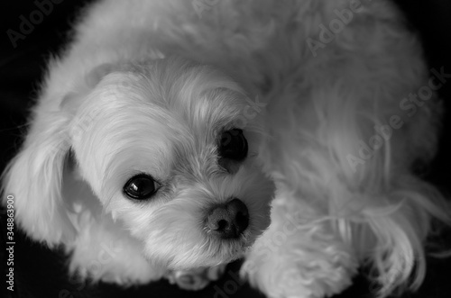 Close-up Of Bichon Frise Puppy Canvas Print