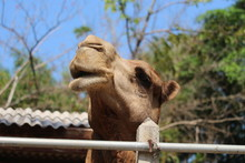 The Face Of A Camel In The Zoo...