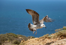 A Seagull Landing On A Cliff O...