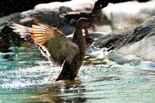 Duck Splashing Water On Lake