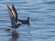 Two Seagulls On Water