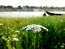 Close-up Of Cow Parsley In Field