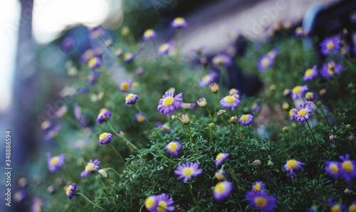 Fényképezés Purple Daisy Flower In Field