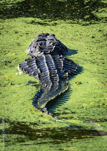 Alligator swimming away in Brazos Bend State Park! Canvas Print