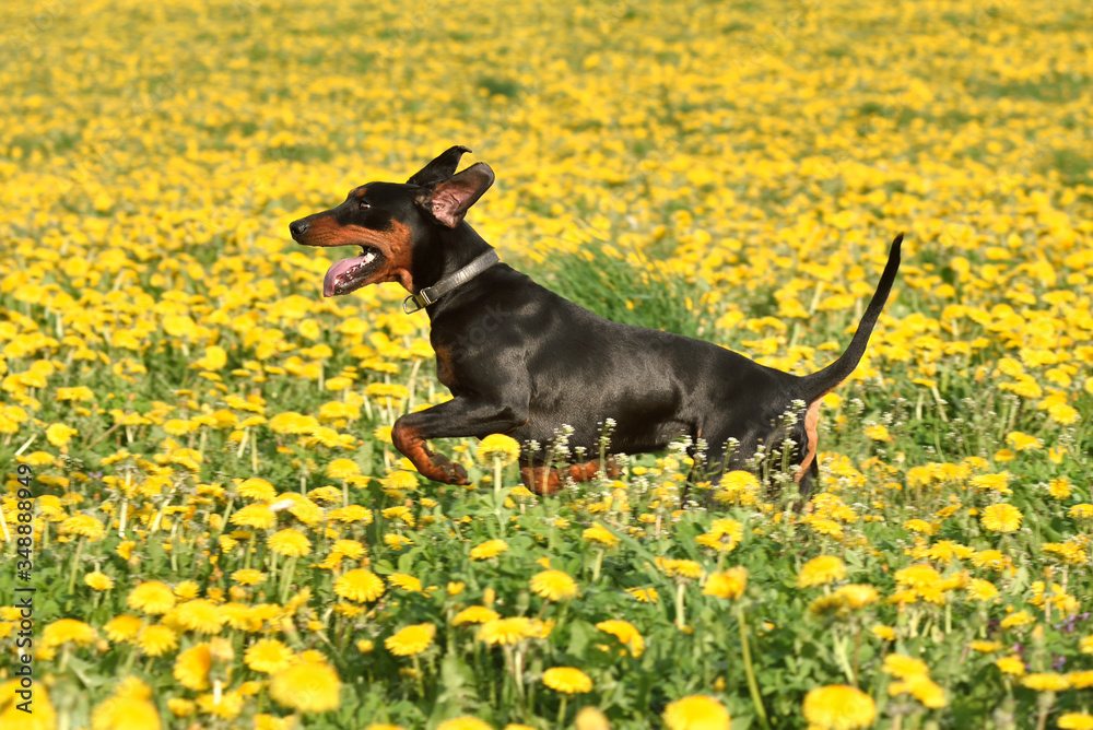 Fototapeta Running German Pinscher