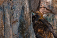 Lesser Spotted Eagle Sitting On A Branch By A Granite Mountain.