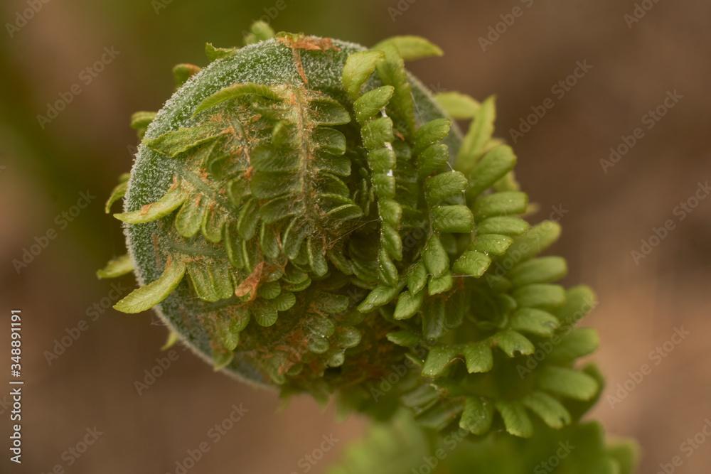 Fototapeta liść paproci