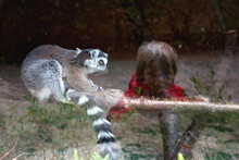 Little Toddler Child, Boy, Looking At Lemur Mother And Baby Through Glass