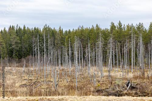 Marshland, bumps and soft soil on the background of trees Fototapeta