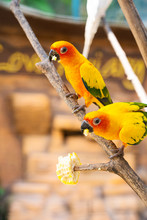 Pair Of Lovebird A Bright Oran...