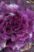 Ornamental Cabbage With A Dust...