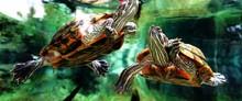 Turtles In Fish Tank