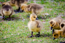 Newborn Goslings In The Springtime