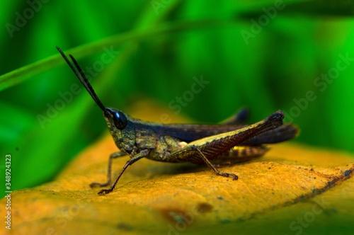 Canvas-taulu Close-up Of Grasshopper On Leaf