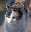Kot dachowiec - zielone oczy