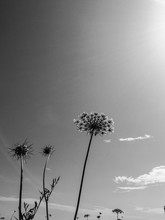 Low Angle View Of Queen Annes Lace Blooming Against Sky
