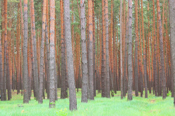 Fototapeta Las Beautiful brown pine trees with beautiful pine brown bark in pine forest among other pines