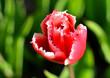 Oryginalny czerwono biały tulipan, w pełnym blasku słońca.