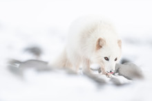Arctic Fox In Snow.