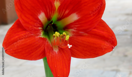 Photo Red Amaryllis flower,Close up of a Beautiful Red Amaryllis flower,Close up of Pollen