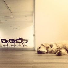 Dog Lying On Floor With Office...