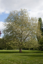 An Oriental Planetree In A Park In Abingdon In Oxfordshire During May