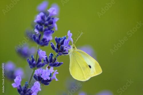 Motyl na kwiecie lawendy - 348941900