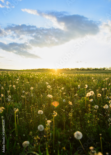 Fototapety, obrazy: Sunset over dandelion meadow with dramatic sky