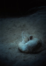 Fennec Fox Sleeping In The Dark Desert