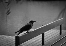 Raven On Bench Against Lake