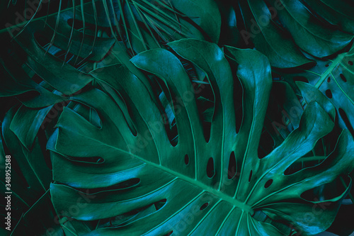 Papier Peint - closeup nature view of green monstera leaf background. Flat lay, dark nature concept, tropical leaf