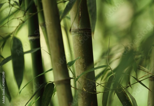 Cuadros en Lienzo Close-up Of Bamboos