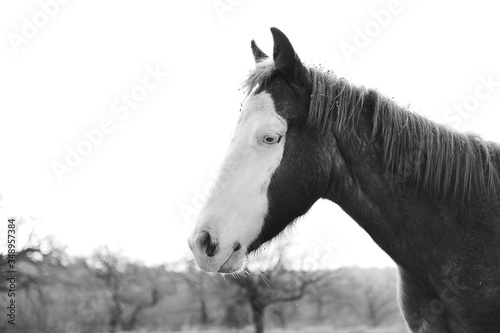 Bald face colt portrait in black and white profile view close up on farm, young horse.