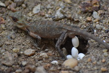 Lizard Is Laying Egg On The Fl...