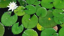 High Angle View Of White Water Lily With Leaves In Pond