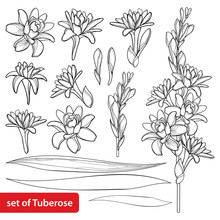Set Of Outline Tropical Agave Amica Or Polianthes Or Tuberose Bunch, Open Flower, Bud And Leaves In Black Isolated On White Background.