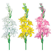 Set Of Outline Tropical Agave Amica Or Polianthes Or Tuberose Bunch With Flower And Bud In Pastel Yellow And Pink Isolated On White Background.
