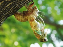 Close-up Of Cicada Molting Fro...