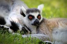 Lemurs Relaxing On Grassy Field