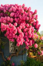 Huge Pink Rhododendrons In Blo...