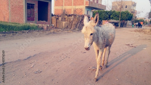 Slika na platnu Donkey Walking On Dirt Road Of Village