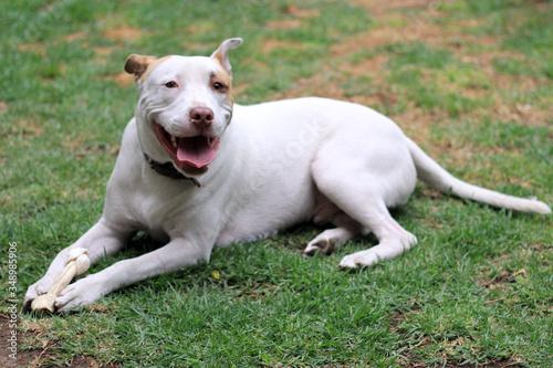 Perro pit bull blanco de manchas café feliz con su hueso Canvas Print