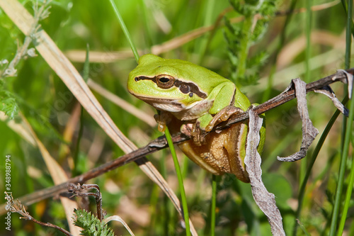 Photo European green tree frog (Hyla arborea formerly Rana arborea) sitting on the dry