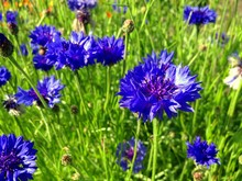 Purple Wildflowers In Meadow