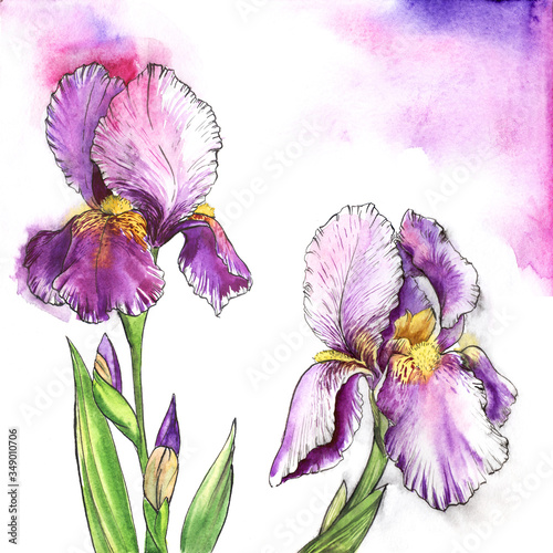 Fototapety, obrazy: Watercolor image of two beautiful irises of purple shades with fluffy bright yellow centers on delicate background of pastel hues. Botanic hand drawn illustration of summer garden flowers