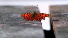 A Close-up On A Leopard Butter...